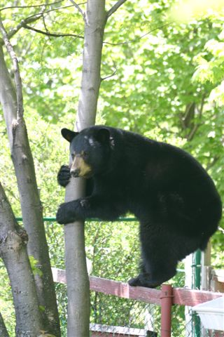 Bear Coexistence & Education
