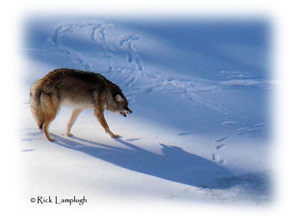Rick Lamplugh's Coyote Watch