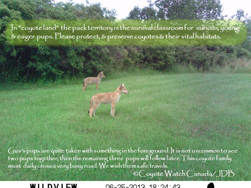 Foot n' Field Update: Wildlife Cameras Provide Intimate Gaze Into Coyote Family Living
