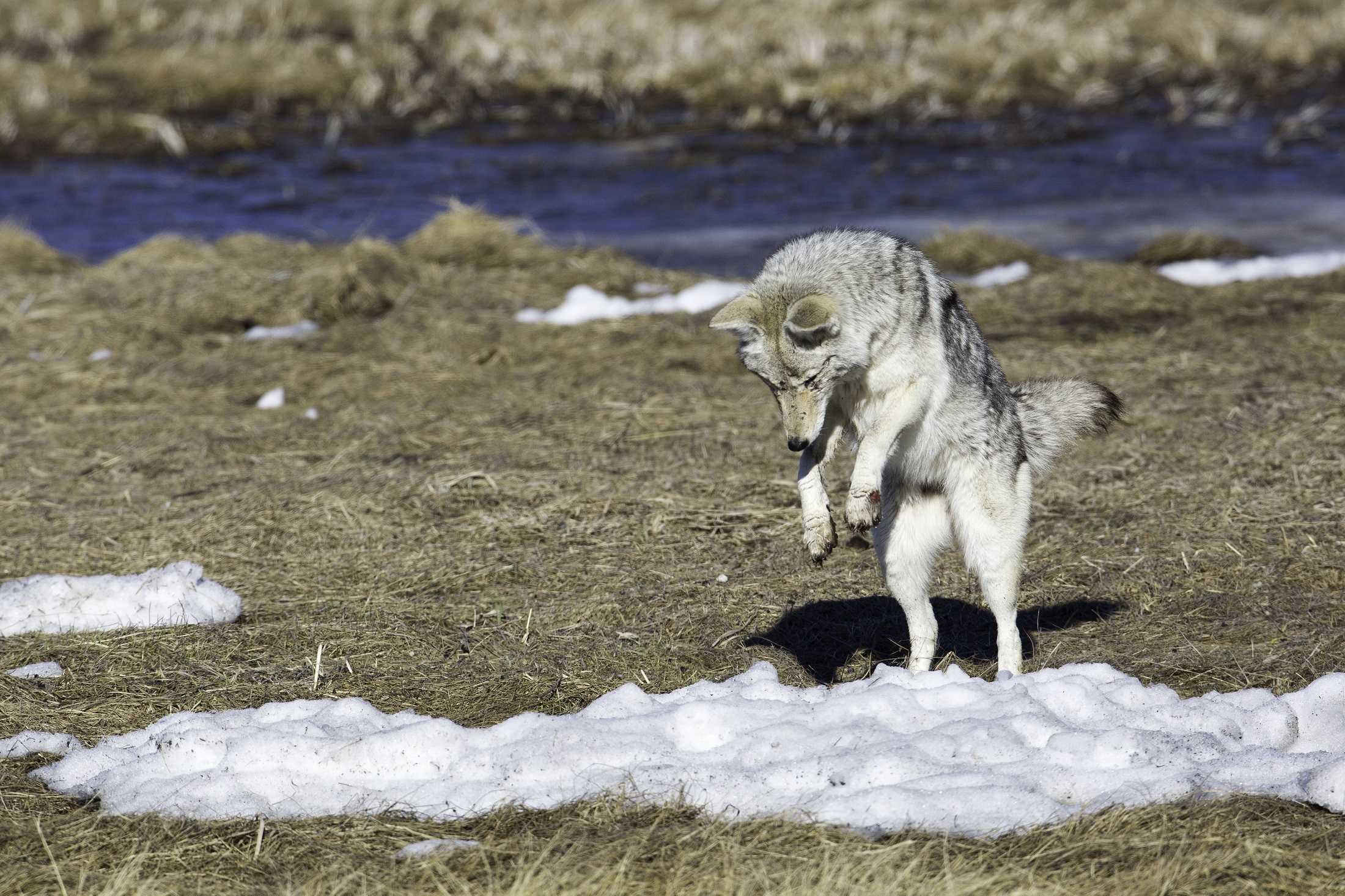 E. Coyote feeding on top prey item – small rodents. If you're a dog owner, you'll be familiar with this 'pouncing posture.' Rodent numbers are up and in some cases, are impacting ecosystem recovery.