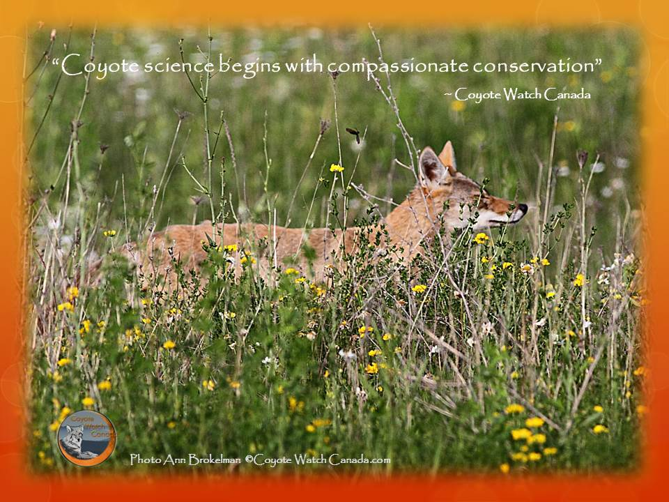 Coyote science begins with compassionate conservation.