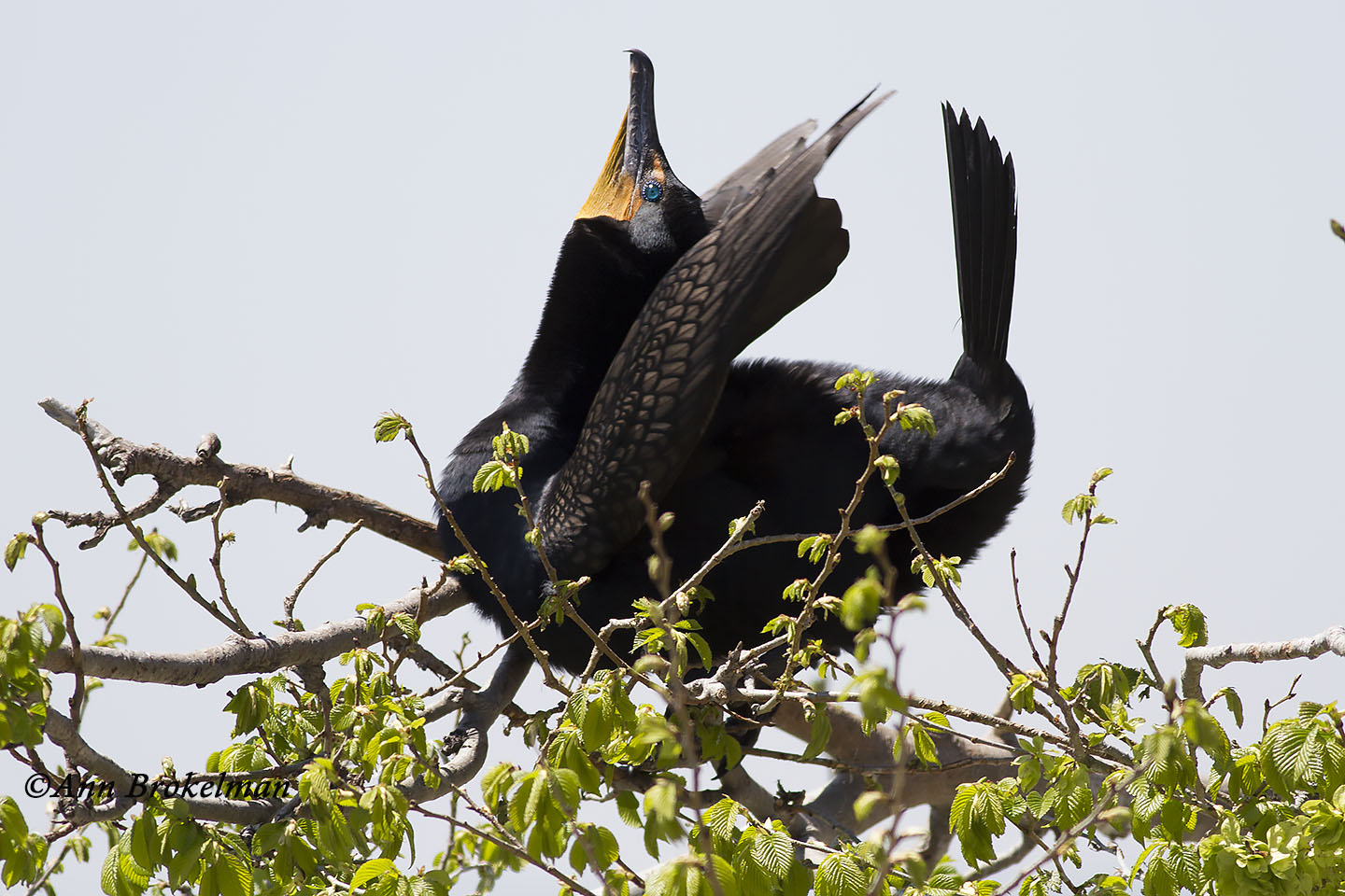 Double-crested Cormorant calling to mate